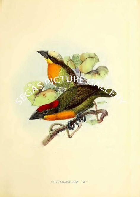 Fine art print of the CAPITO AUROVIRENS   ♂ & ♀ by J G Keulemans (1871)
